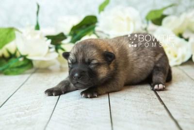 puppy65 week1 BowTiePomsky.com Bowtie Pomsky Puppy For Sale Husky Pomeranian Mini Dog Spokane WA Breeder Blue Eyes Pomskies web4