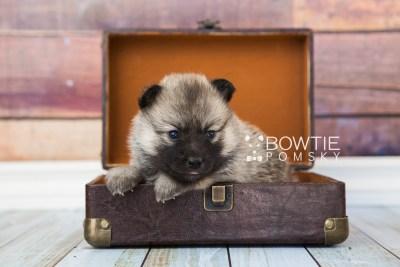 puppy65 week3 BowTiePomsky.com Bowtie Pomsky Puppy For Sale Husky Pomeranian Mini Dog Spokane WA Breeder Blue Eyes Pomskies web2