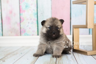 puppy65 week3 BowTiePomsky.com Bowtie Pomsky Puppy For Sale Husky Pomeranian Mini Dog Spokane WA Breeder Blue Eyes Pomskies web4