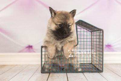 puppy65 week5 BowTiePomsky.com Bowtie Pomsky Puppy For Sale Husky Pomeranian Mini Dog Spokane WA Breeder Blue Eyes Pomskies web1