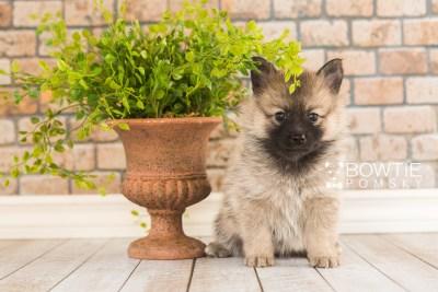 puppy65 week5 BowTiePomsky.com Bowtie Pomsky Puppy For Sale Husky Pomeranian Mini Dog Spokane WA Breeder Blue Eyes Pomskies web4