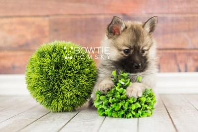 puppy65 week7 BowTiePomsky.com Bowtie Pomsky Puppy For Sale Husky Pomeranian Mini Dog Spokane WA Breeder Blue Eyes Pomskies web4