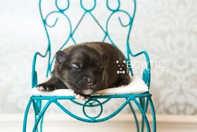 puppy66 week1 BowTiePomsky.com Bowtie Pomsky Puppy For Sale Husky Pomeranian Mini Dog Spokane WA Breeder Blue Eyes Pomskies web1