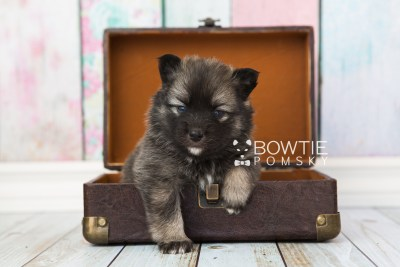 puppy66 week3 BowTiePomsky.com Bowtie Pomsky Puppy For Sale Husky Pomeranian Mini Dog Spokane WA Breeder Blue Eyes Pomskies web1