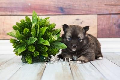 puppy66 week3 BowTiePomsky.com Bowtie Pomsky Puppy For Sale Husky Pomeranian Mini Dog Spokane WA Breeder Blue Eyes Pomskies web5