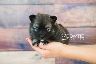 puppy66 week3 BowTiePomsky.com Bowtie Pomsky Puppy For Sale Husky Pomeranian Mini Dog Spokane WA Breeder Blue Eyes Pomskies web6