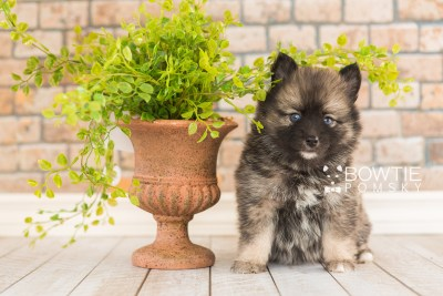 puppy66 week5 BowTiePomsky.com Bowtie Pomsky Puppy For Sale Husky Pomeranian Mini Dog Spokane WA Breeder Blue Eyes Pomskies web1
