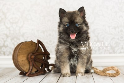 puppy66 week7 BowTiePomsky.com Bowtie Pomsky Puppy For Sale Husky Pomeranian Mini Dog Spokane WA Breeder Blue Eyes Pomskies web4