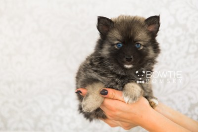 puppy66 week7 BowTiePomsky.com Bowtie Pomsky Puppy For Sale Husky Pomeranian Mini Dog Spokane WA Breeder Blue Eyes Pomskies web6