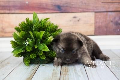 puppy67 week3 BowTiePomsky.com Bowtie Pomsky Puppy For Sale Husky Pomeranian Mini Dog Spokane WA Breeder Blue Eyes Pomskies web3