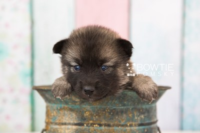 puppy67 week3 BowTiePomsky.com Bowtie Pomsky Puppy For Sale Husky Pomeranian Mini Dog Spokane WA Breeder Blue Eyes Pomskies web5