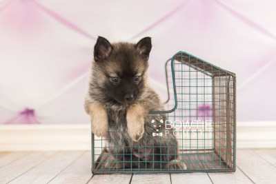 puppy67 week5 BowTiePomsky.com Bowtie Pomsky Puppy For Sale Husky Pomeranian Mini Dog Spokane WA Breeder Blue Eyes Pomskies web2