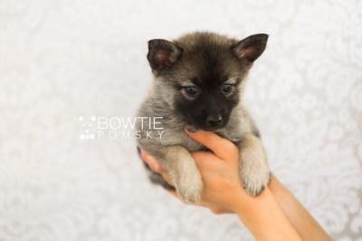 puppy67 week7 BowTiePomsky.com Bowtie Pomsky Puppy For Sale Husky Pomeranian Mini Dog Spokane WA Breeder Blue Eyes Pomskies web1