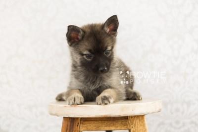 puppy67 week7 BowTiePomsky.com Bowtie Pomsky Puppy For Sale Husky Pomeranian Mini Dog Spokane WA Breeder Blue Eyes Pomskies web2