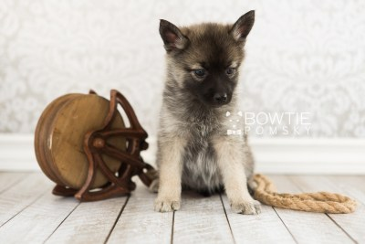 puppy67 week7 BowTiePomsky.com Bowtie Pomsky Puppy For Sale Husky Pomeranian Mini Dog Spokane WA Breeder Blue Eyes Pomskies web3