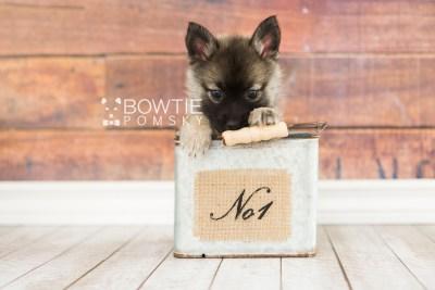 puppy67 week7 BowTiePomsky.com Bowtie Pomsky Puppy For Sale Husky Pomeranian Mini Dog Spokane WA Breeder Blue Eyes Pomskies web6