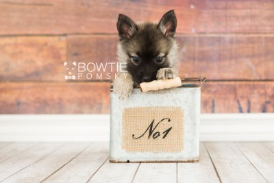 puppy67 week7 BowTiePomsky.com Bowtie Pomsky Puppy For Sale Husky Pomeranian Mini Dog Spokane WA Breeder Blue Eyes Pomskies web6
