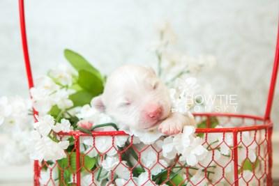 puppy68 week1 BowTiePomsky.com Bowtie Pomsky Puppy For Sale Husky Pomeranian Mini Dog Spokane WA Breeder Blue Eyes Pomskies web1