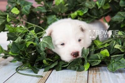 puppy68 week3 BowTiePomsky.com Bowtie Pomsky Puppy For Sale Husky Pomeranian Mini Dog Spokane WA Breeder Blue Eyes Pomskies web5