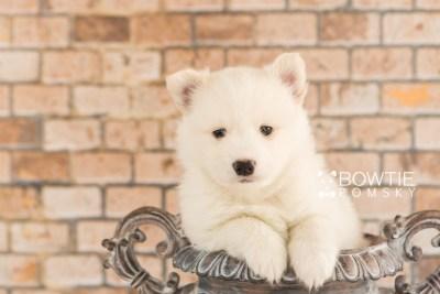 puppy68 week5 BowTiePomsky.com Bowtie Pomsky Puppy For Sale Husky Pomeranian Mini Dog Spokane WA Breeder Blue Eyes Pomskies web1