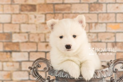 puppy68 week5 BowTiePomsky.com Bowtie Pomsky Puppy For Sale Husky Pomeranian Mini Dog Spokane WA Breeder Blue Eyes Pomskies web1