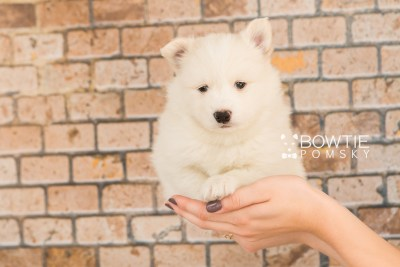 puppy68 week5 BowTiePomsky.com Bowtie Pomsky Puppy For Sale Husky Pomeranian Mini Dog Spokane WA Breeder Blue Eyes Pomskies web3