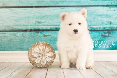 puppy68 week5 BowTiePomsky.com Bowtie Pomsky Puppy For Sale Husky Pomeranian Mini Dog Spokane WA Breeder Blue Eyes Pomskies web5