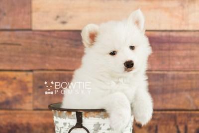 puppy68 week7 BowTiePomsky.com Bowtie Pomsky Puppy For Sale Husky Pomeranian Mini Dog Spokane WA Breeder Blue Eyes Pomskies web2