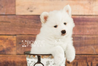 puppy68 week7 BowTiePomsky.com Bowtie Pomsky Puppy For Sale Husky Pomeranian Mini Dog Spokane WA Breeder Blue Eyes Pomskies web2