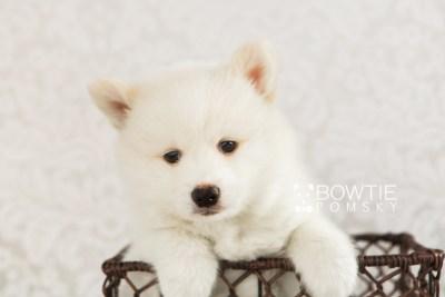 puppy68 week7 BowTiePomsky.com Bowtie Pomsky Puppy For Sale Husky Pomeranian Mini Dog Spokane WA Breeder Blue Eyes Pomskies web4