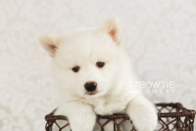 puppy68 week7 BowTiePomsky.com Bowtie Pomsky Puppy For Sale Husky Pomeranian Mini Dog Spokane WA Breeder Blue Eyes Pomskies web4