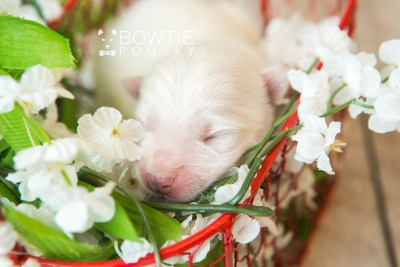 puppy69 week1 BowTiePomsky.com Bowtie Pomsky Puppy For Sale Husky Pomeranian Mini Dog Spokane WA Breeder Blue Eyes Pomskies web1