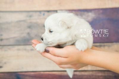 puppy69 week3 BowTiePomsky.com Bowtie Pomsky Puppy For Sale Husky Pomeranian Mini Dog Spokane WA Breeder Blue Eyes Pomskies web1