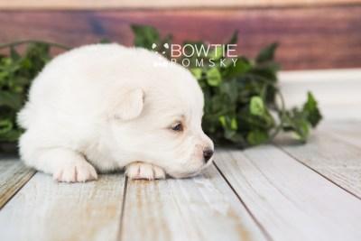 puppy69 week3 BowTiePomsky.com Bowtie Pomsky Puppy For Sale Husky Pomeranian Mini Dog Spokane WA Breeder Blue Eyes Pomskies web2
