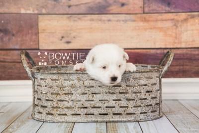 puppy69 week3 BowTiePomsky.com Bowtie Pomsky Puppy For Sale Husky Pomeranian Mini Dog Spokane WA Breeder Blue Eyes Pomskies web3