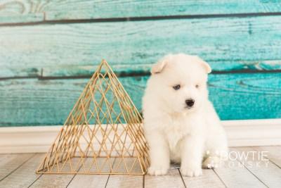 puppy69 week5 BowTiePomsky.com Bowtie Pomsky Puppy For Sale Husky Pomeranian Mini Dog Spokane WA Breeder Blue Eyes Pomskies web2