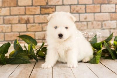 puppy69 week5 BowTiePomsky.com Bowtie Pomsky Puppy For Sale Husky Pomeranian Mini Dog Spokane WA Breeder Blue Eyes Pomskies web5