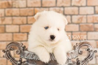 puppy69 week5 BowTiePomsky.com Bowtie Pomsky Puppy For Sale Husky Pomeranian Mini Dog Spokane WA Breeder Blue Eyes Pomskies web6