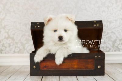 puppy69 week7 BowTiePomsky.com Bowtie Pomsky Puppy For Sale Husky Pomeranian Mini Dog Spokane WA Breeder Blue Eyes Pomskies web1