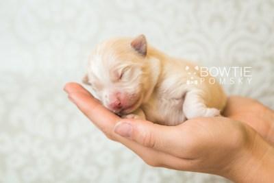 puppy70 week1 BowTiePomsky.com Bowtie Pomsky Puppy For Sale Husky Pomeranian Mini Dog Spokane WA Breeder Blue Eyes Pomskies web6