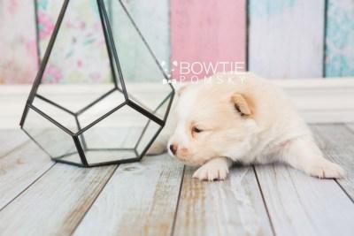 puppy70 week3 BowTiePomsky.com Bowtie Pomsky Puppy For Sale Husky Pomeranian Mini Dog Spokane WA Breeder Blue Eyes Pomskies web2