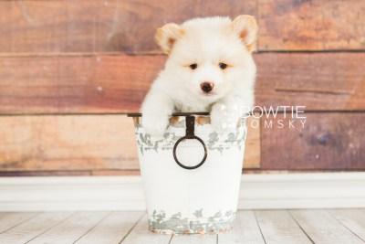 puppy70 week7 BowTiePomsky.com Bowtie Pomsky Puppy For Sale Husky Pomeranian Mini Dog Spokane WA Breeder Blue Eyes Pomskies web1