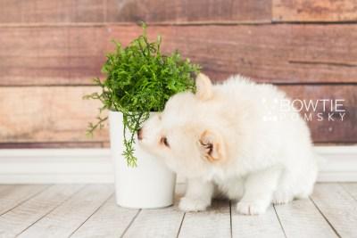 puppy70 week7 BowTiePomsky.com Bowtie Pomsky Puppy For Sale Husky Pomeranian Mini Dog Spokane WA Breeder Blue Eyes Pomskies web3