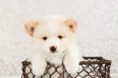 puppy70 week7 BowTiePomsky.com Bowtie Pomsky Puppy For Sale Husky Pomeranian Mini Dog Spokane WA Breeder Blue Eyes Pomskies web5