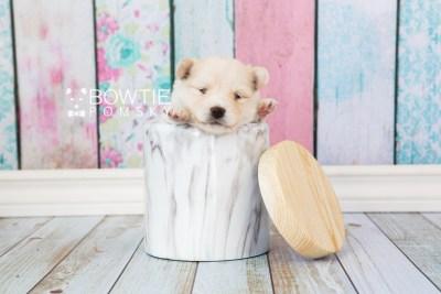 puppy72 week3 BowTiePomsky.com Bowtie Pomsky Puppy For Sale Husky Pomeranian Mini Dog Spokane WA Breeder Blue Eyes Pomskies web1