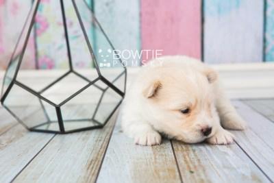 puppy72 week3 BowTiePomsky.com Bowtie Pomsky Puppy For Sale Husky Pomeranian Mini Dog Spokane WA Breeder Blue Eyes Pomskies web2