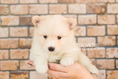 puppy72 week5 BowTiePomsky.com Bowtie Pomsky Puppy For Sale Husky Pomeranian Mini Dog Spokane WA Breeder Blue Eyes Pomskies web1