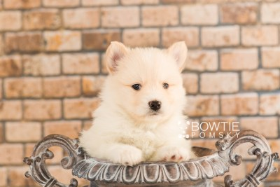 puppy72 week5 BowTiePomsky.com Bowtie Pomsky Puppy For Sale Husky Pomeranian Mini Dog Spokane WA Breeder Blue Eyes Pomskies web4
