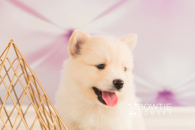 puppy72 week5 BowTiePomsky.com Bowtie Pomsky Puppy For Sale Husky Pomeranian Mini Dog Spokane WA Breeder Blue Eyes Pomskies web6