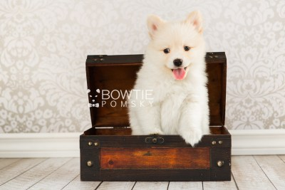 puppy72 week7 BowTiePomsky.com Bowtie Pomsky Puppy For Sale Husky Pomeranian Mini Dog Spokane WA Breeder Blue Eyes Pomskies web5